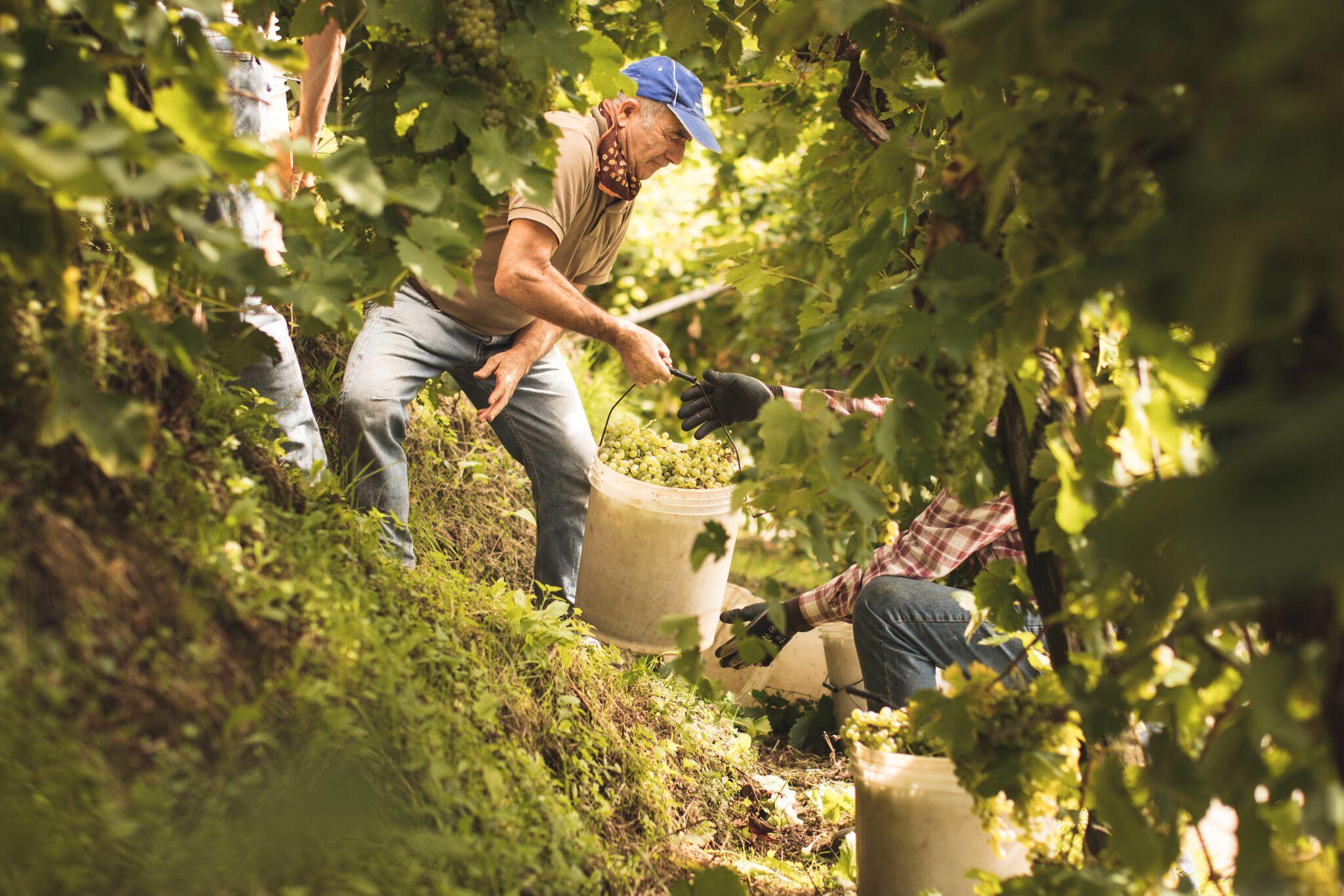 Heroic harvest in the hills of Conegliano Valdobbiadene Prosecco Superiore  (Image: Beatrice Pilotto, Prosecco Superiore DOCG)