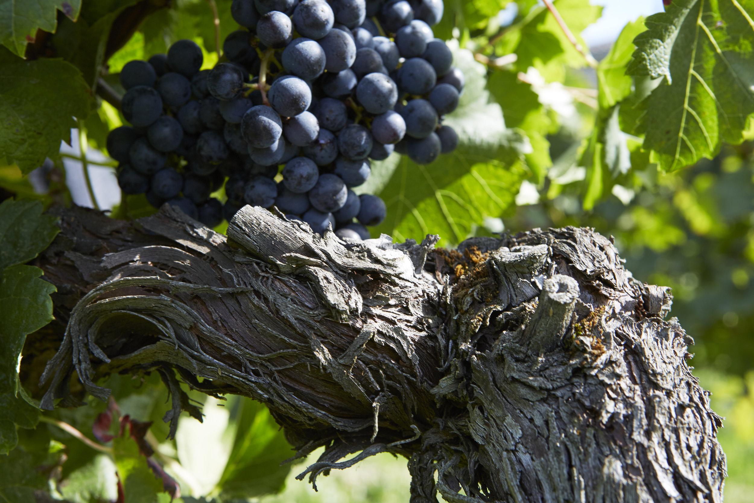 Vines at Chateau de la Dauphine (Image: Chateau source)