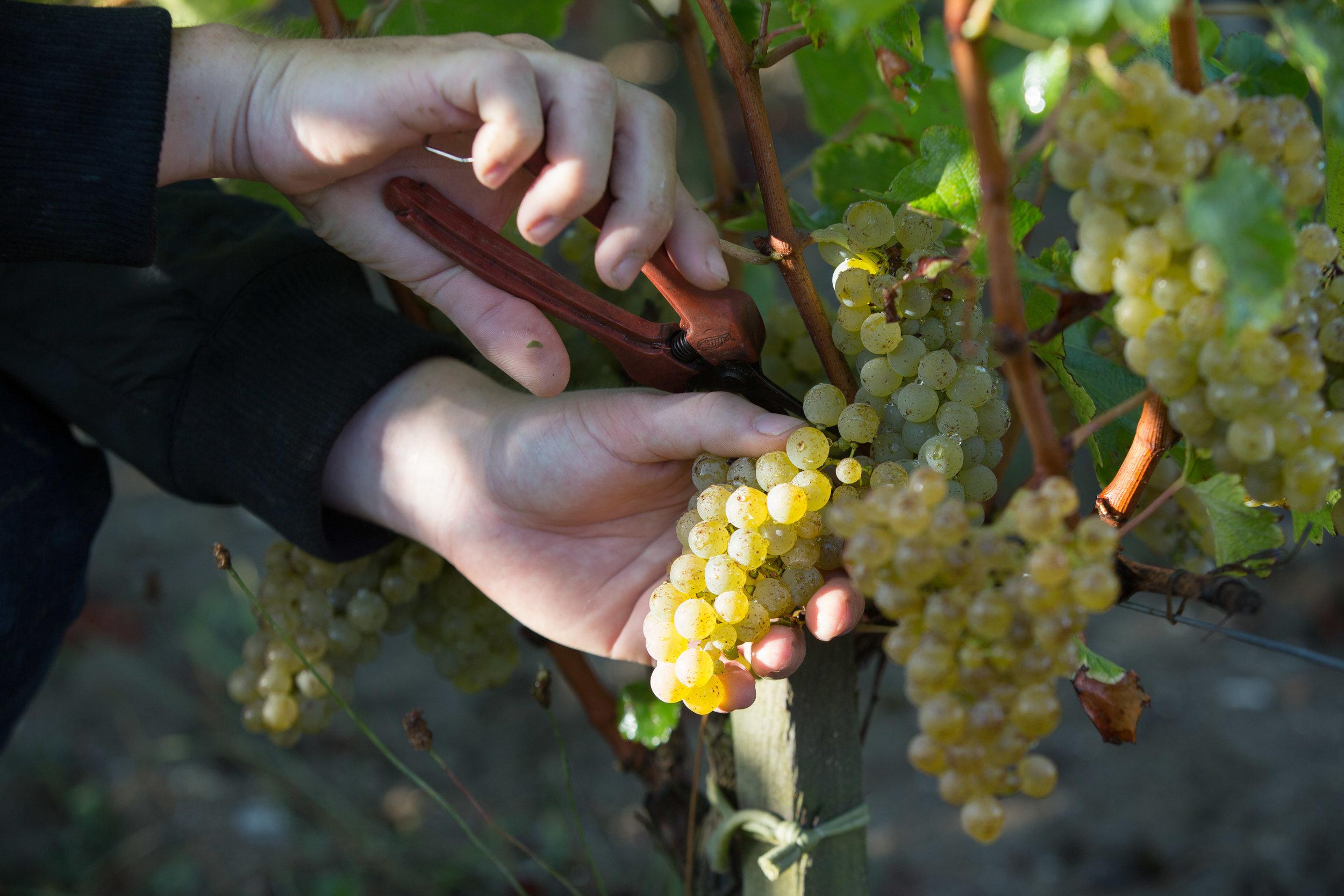 Harvest at Chateau Fourcas Hosten (Image: Chateau source)