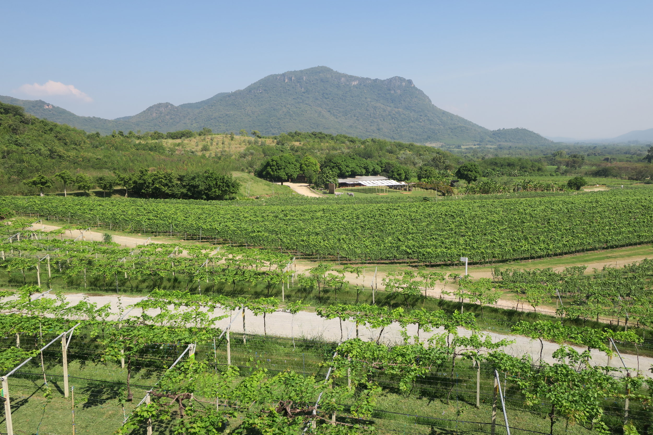 Hua Hin Hills at the backdrop of Monsoon Valley vineyards (Image: Sumita Sarma)