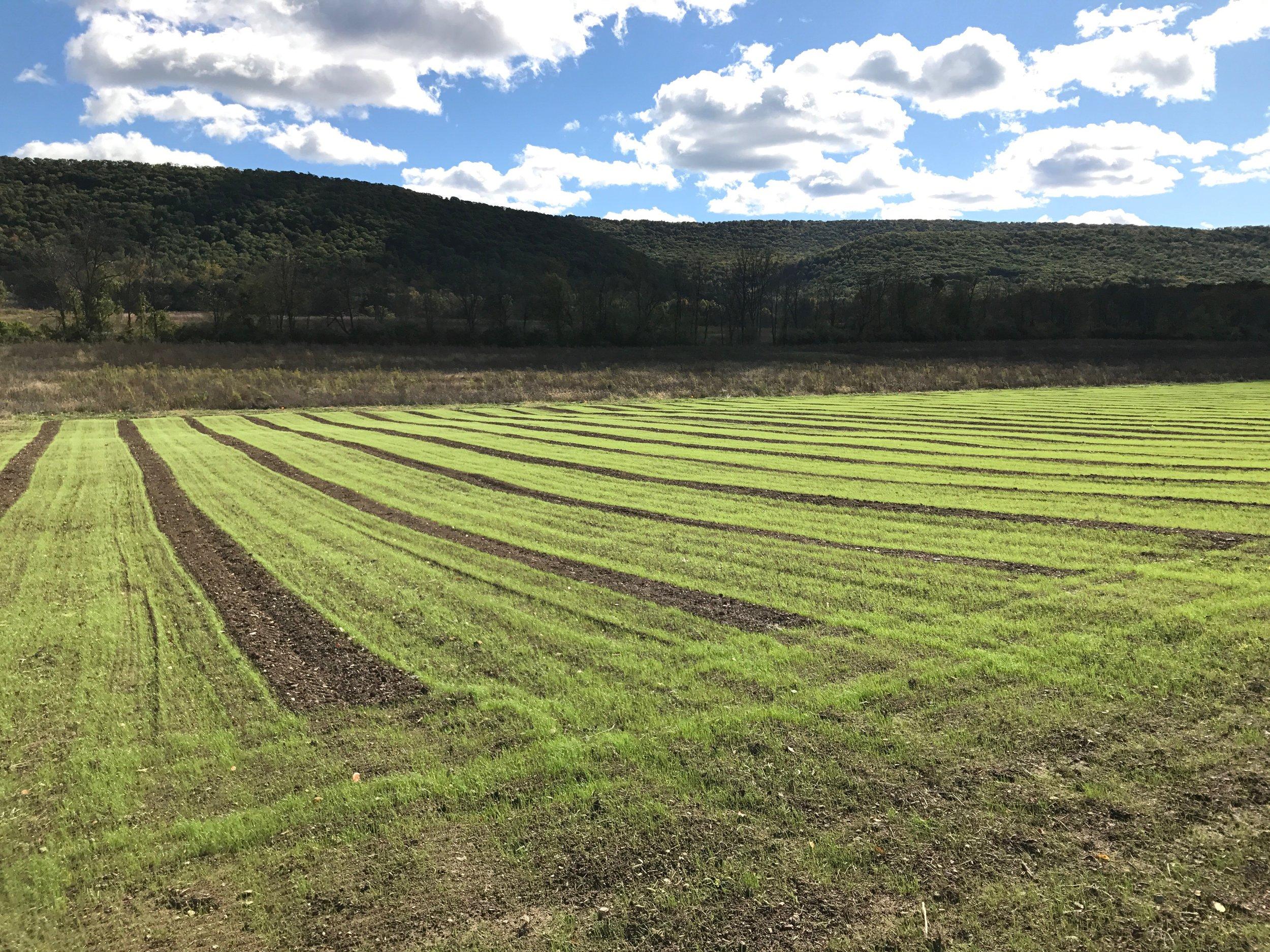 Vineyard grass planted.