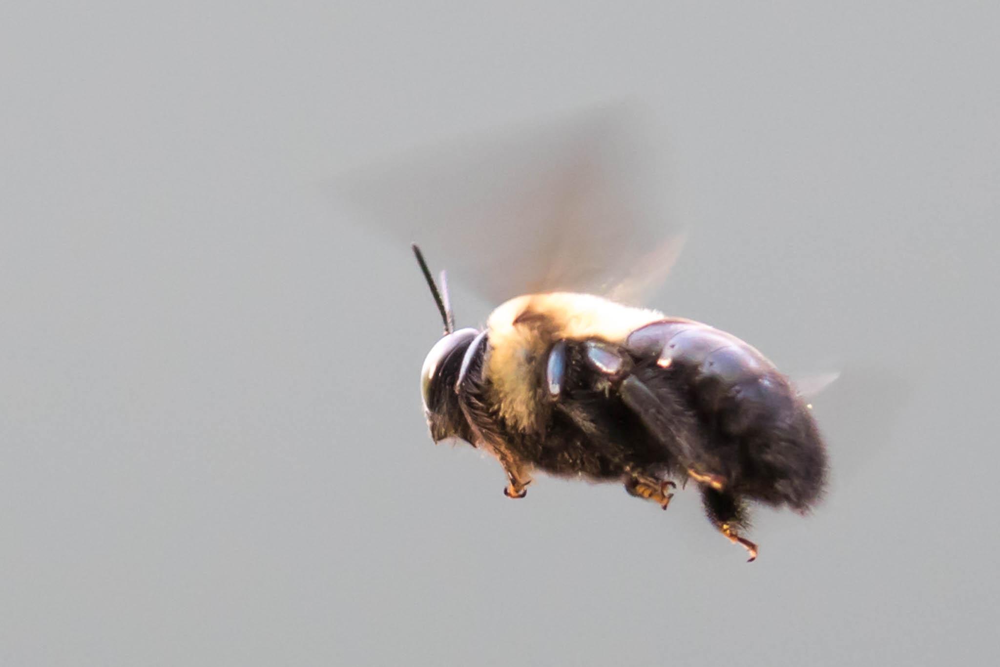 Bumble Bee in Flight-1.jpg