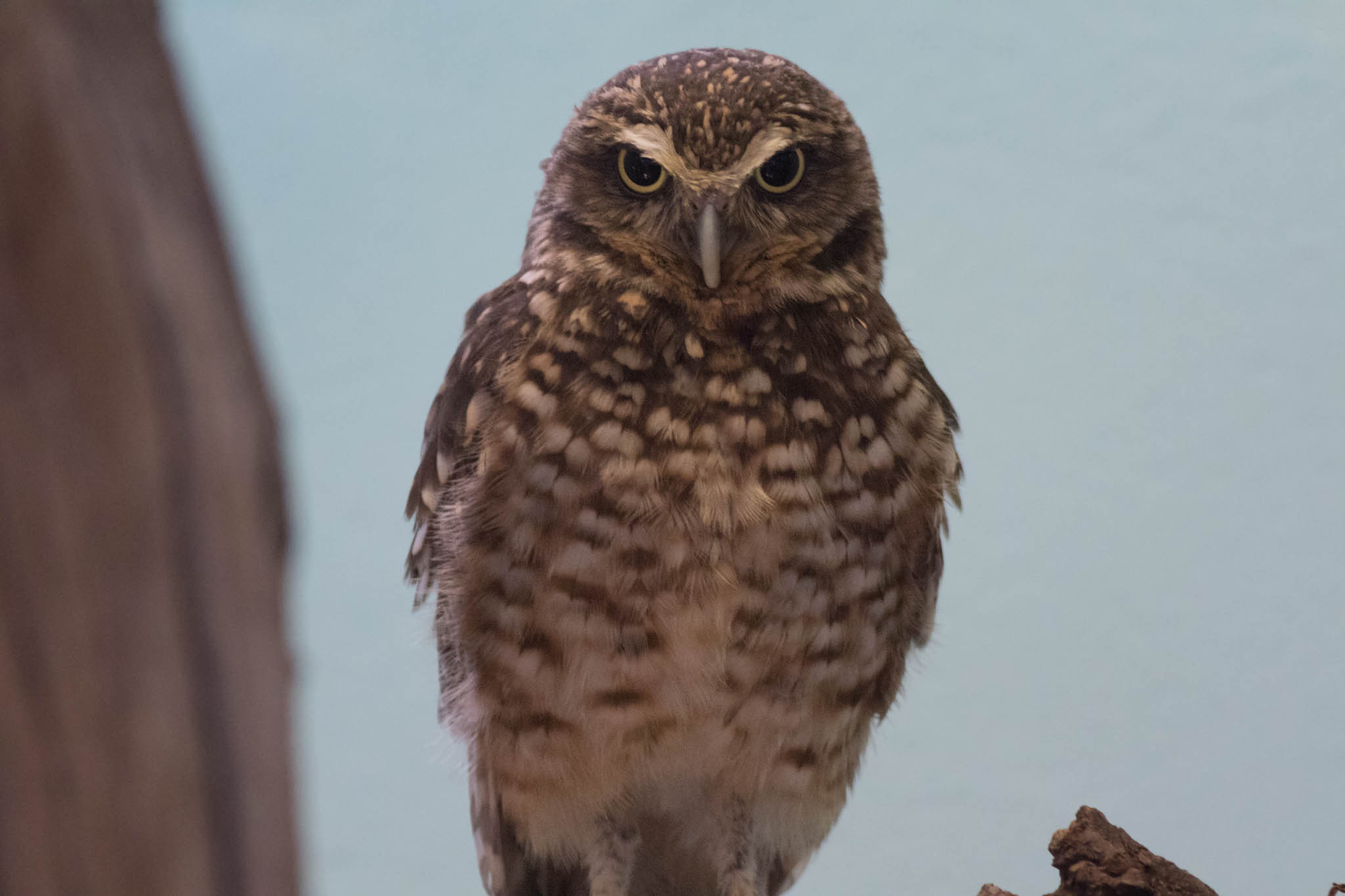Burrowing Owl-2.jpg