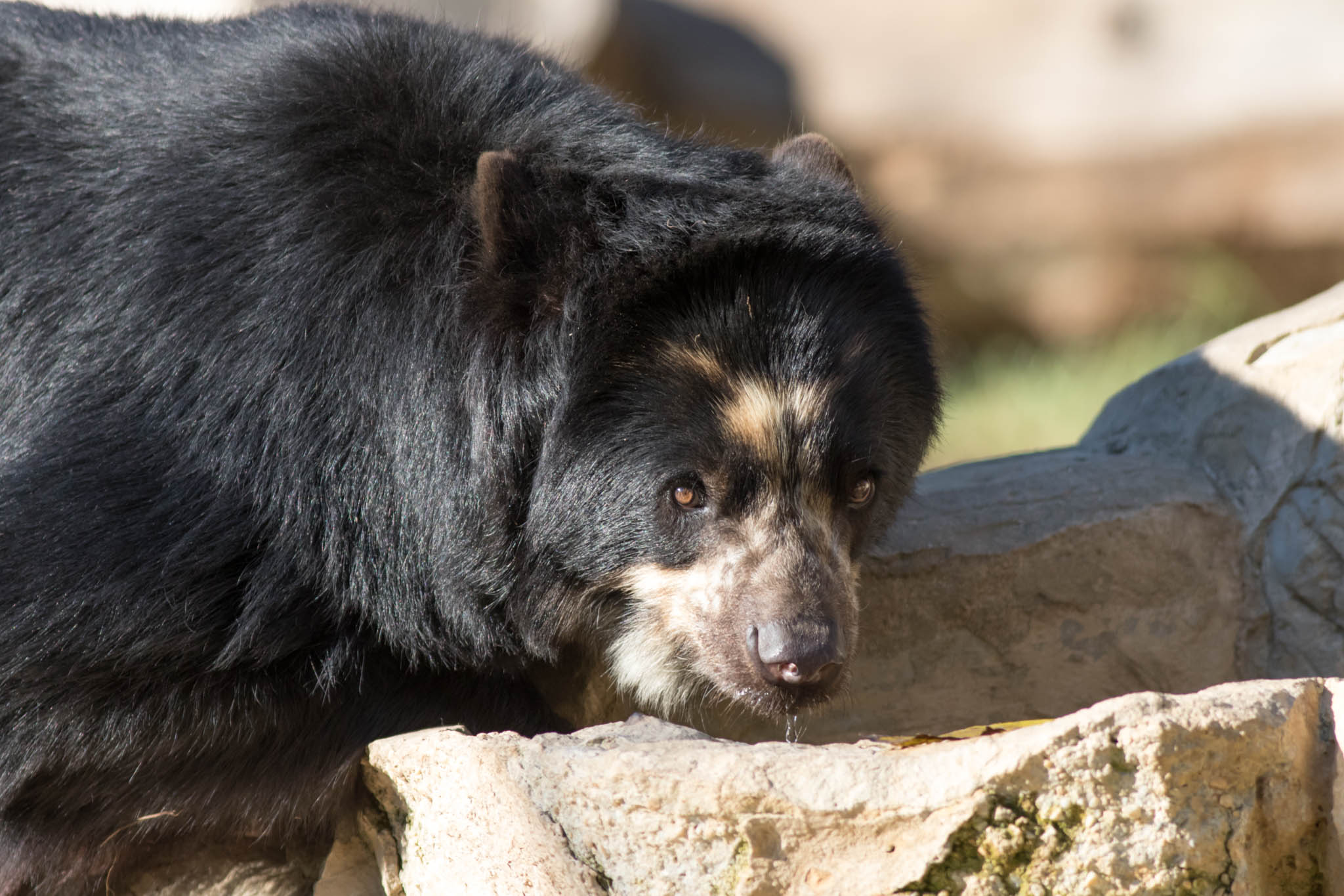 Andean Bear-40.jpg