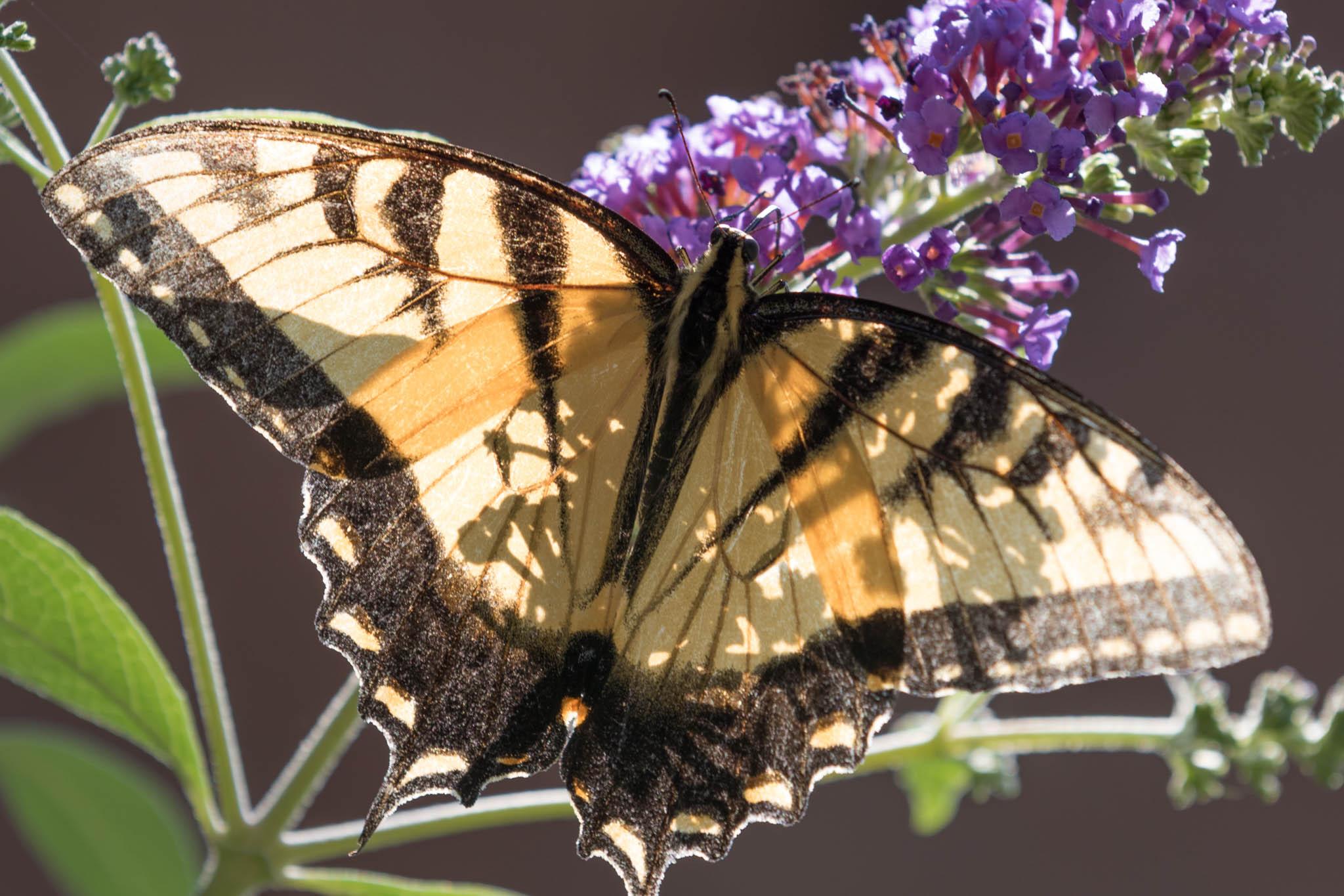 Eastern Tiger Swallowtail - Pterourus Glaucus-8.jpg