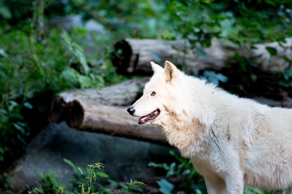 DC Zoo Wolf.jpg