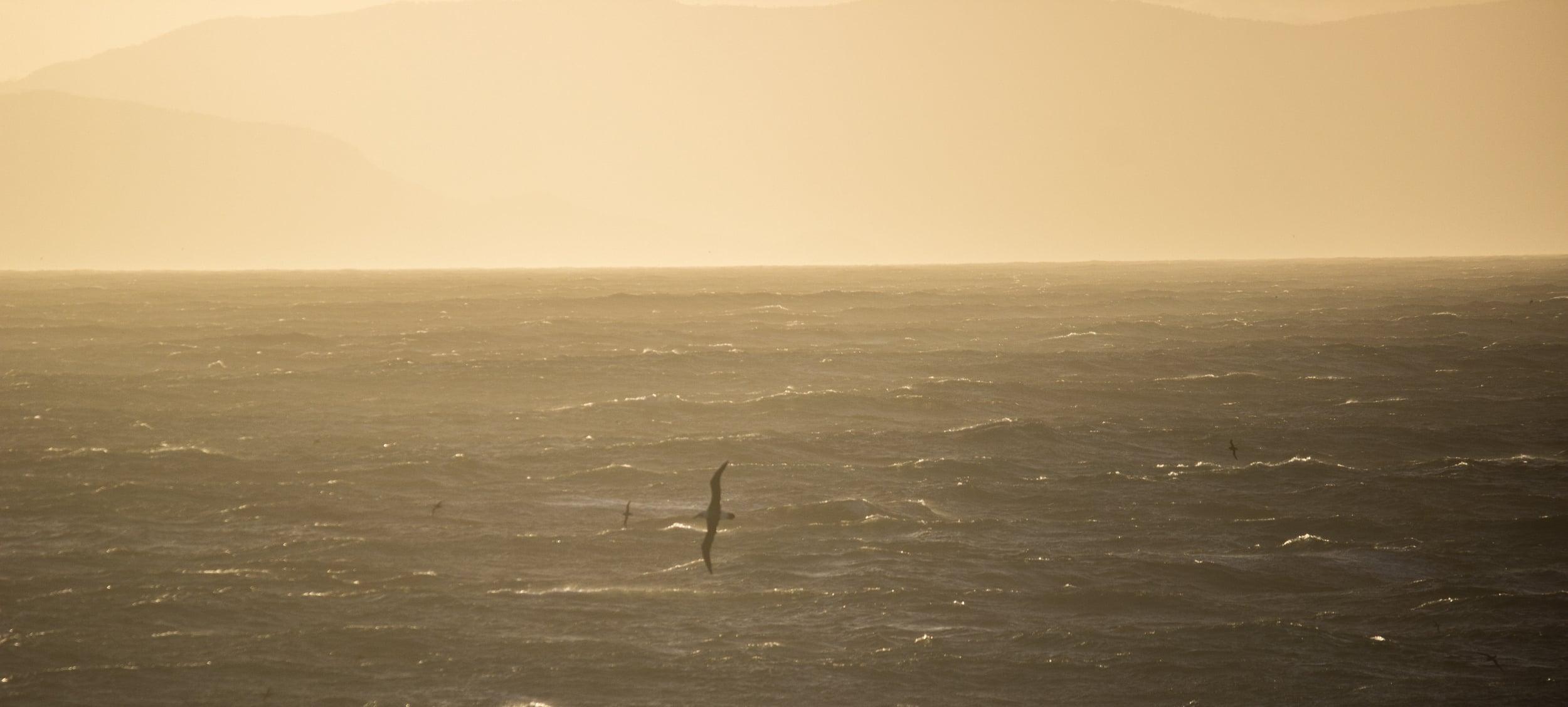 Seabird size-up. Tasman Sea.