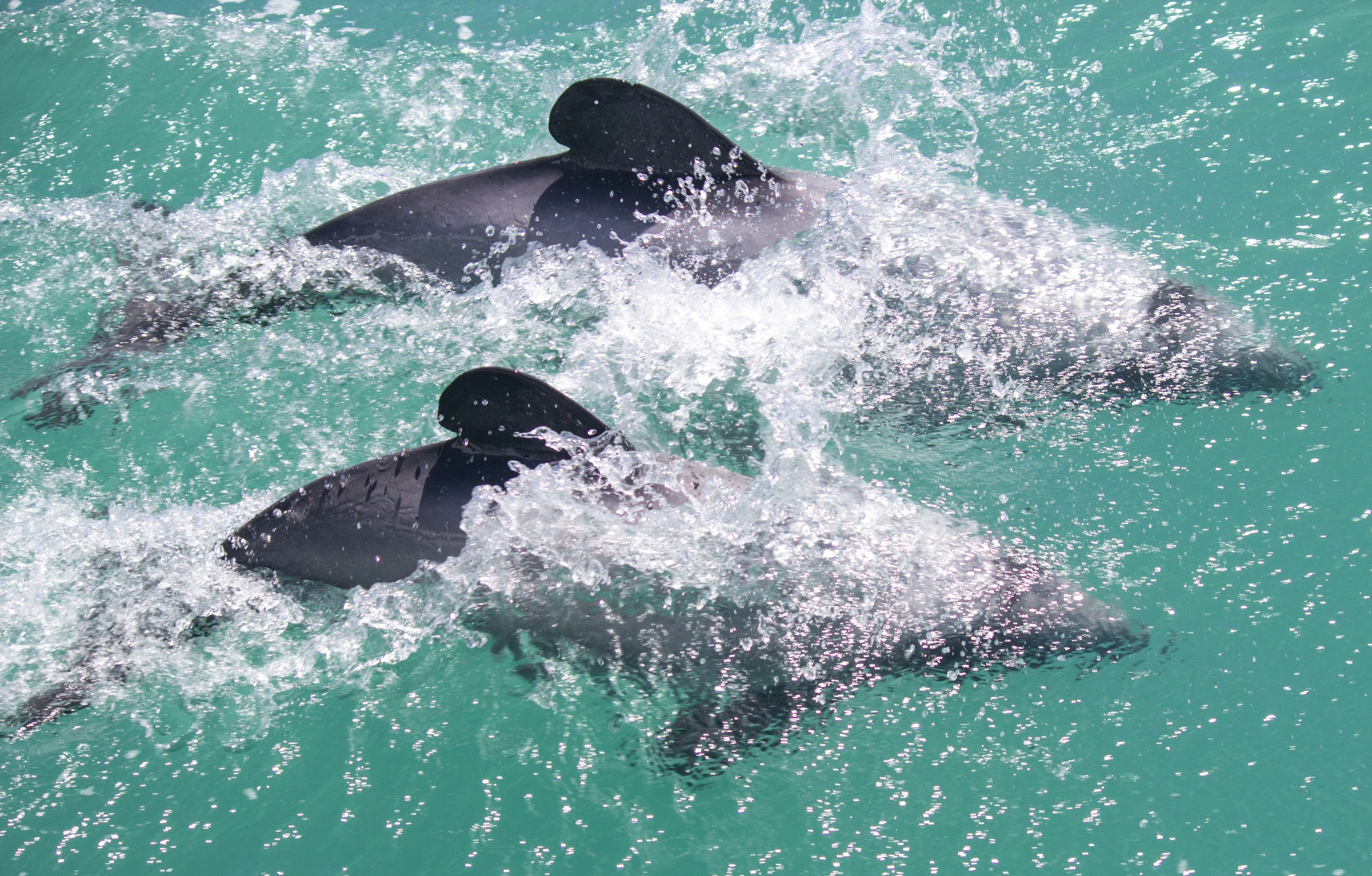 Playful pair of Hector's Dolphins. Akaroa, New Zealand.