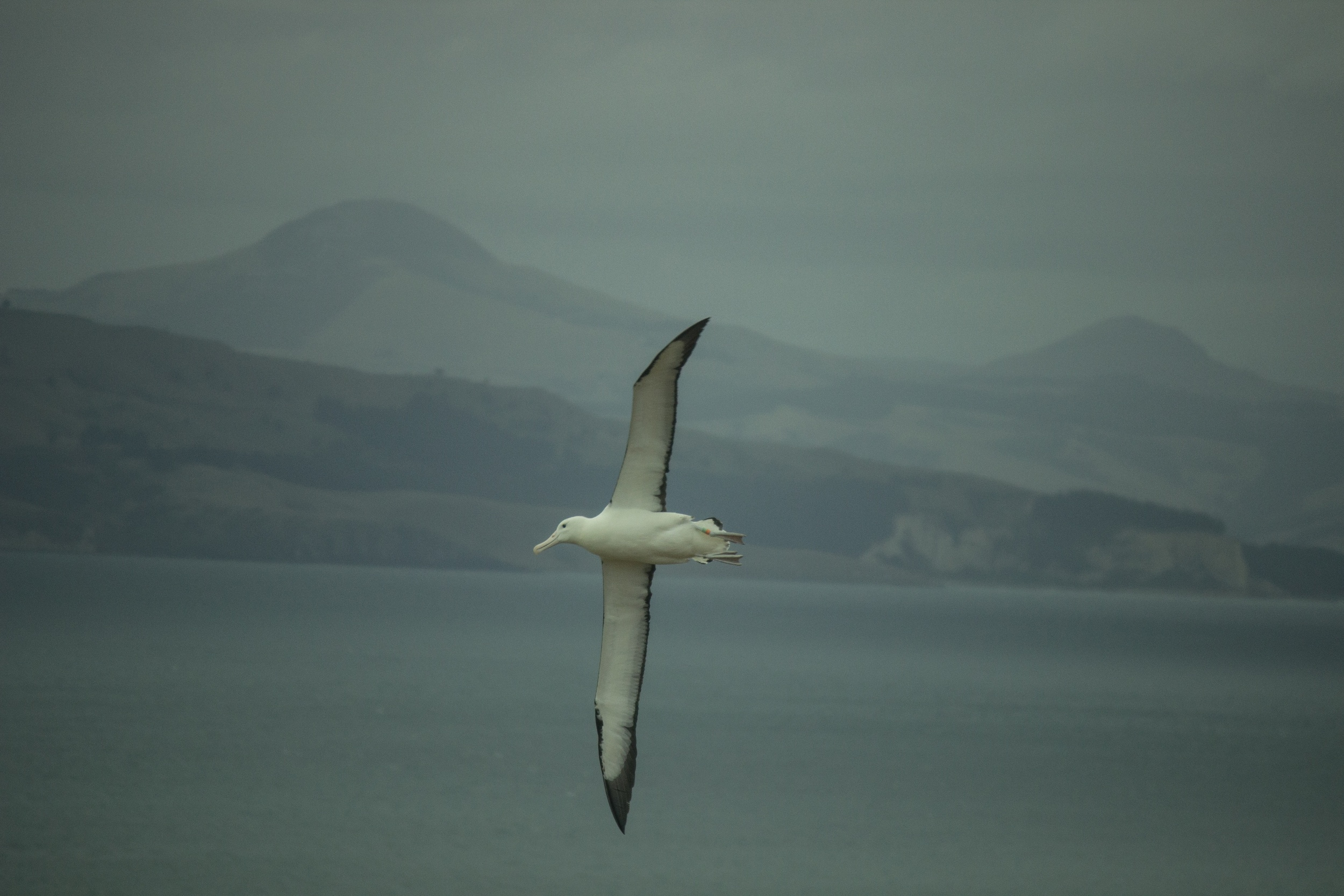 Northern Royal Albatross. Taiaroa Head, Dunedin, New Zealand.