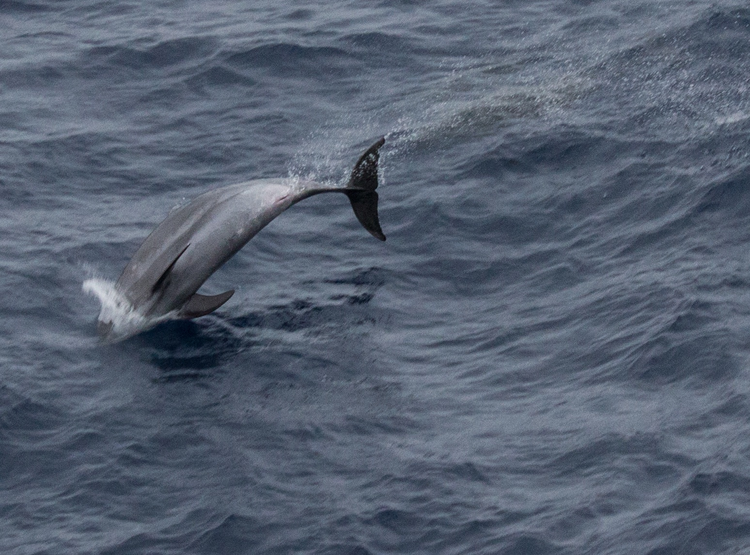 Bottlenose dolphin flop. Victoria's coast, Australia