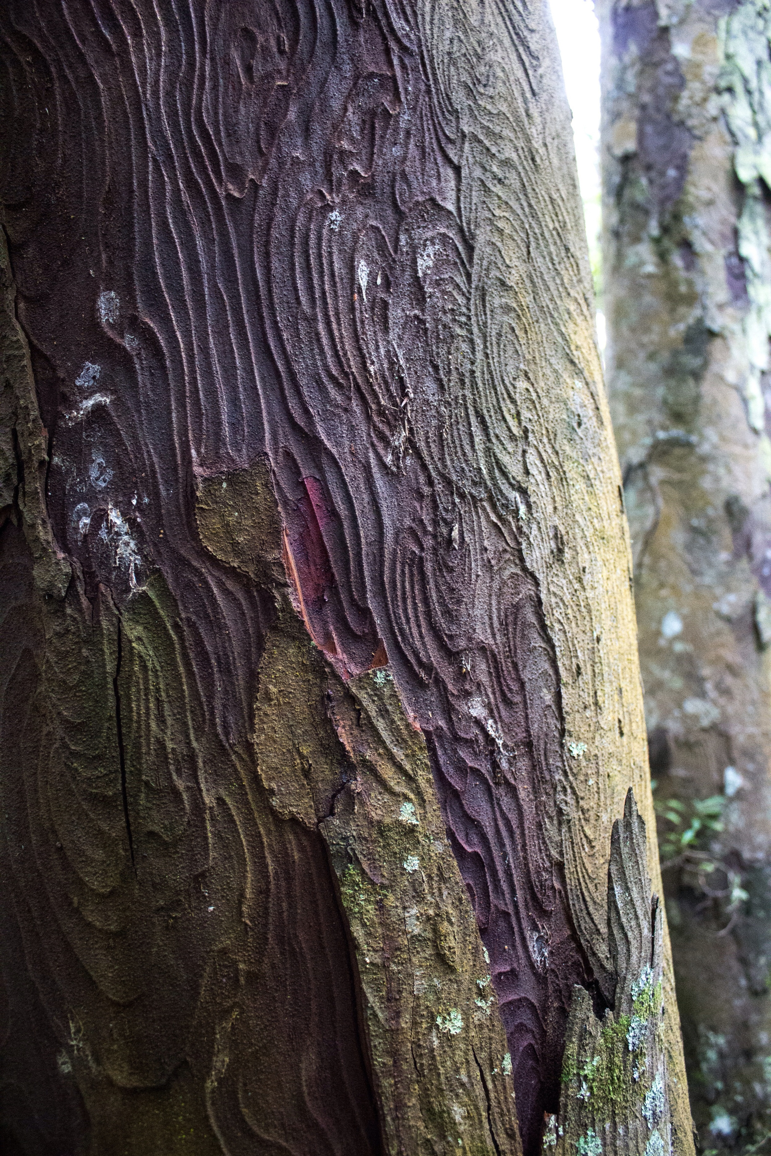 Rimu tree topography. Orokonui Ecosanctuary, New Zealand.