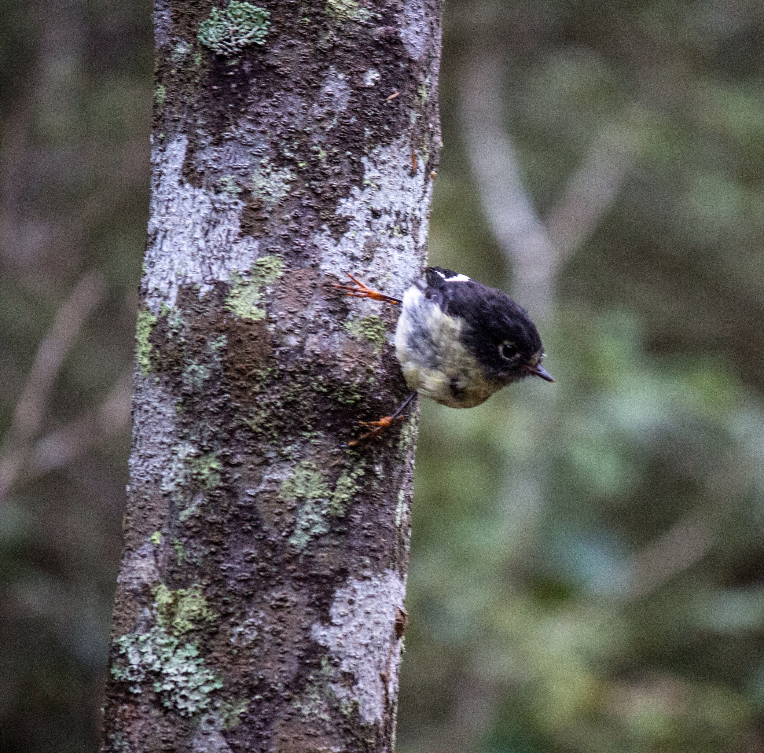 Another friendly local, the tomtit or miromiro. Orokonui Ecosanctuary, New Zealand.
