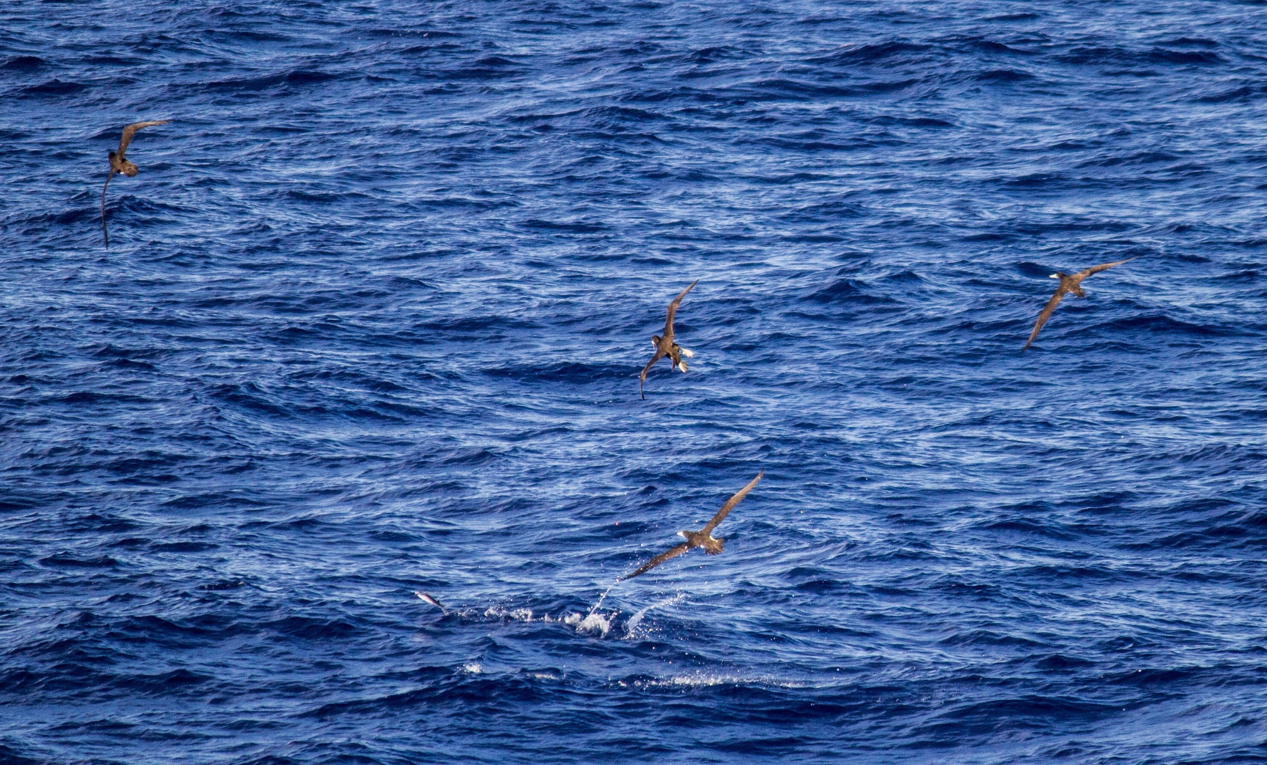 Brown boobies in pursuit of a flying fish. Willis Island, Coral Sea.