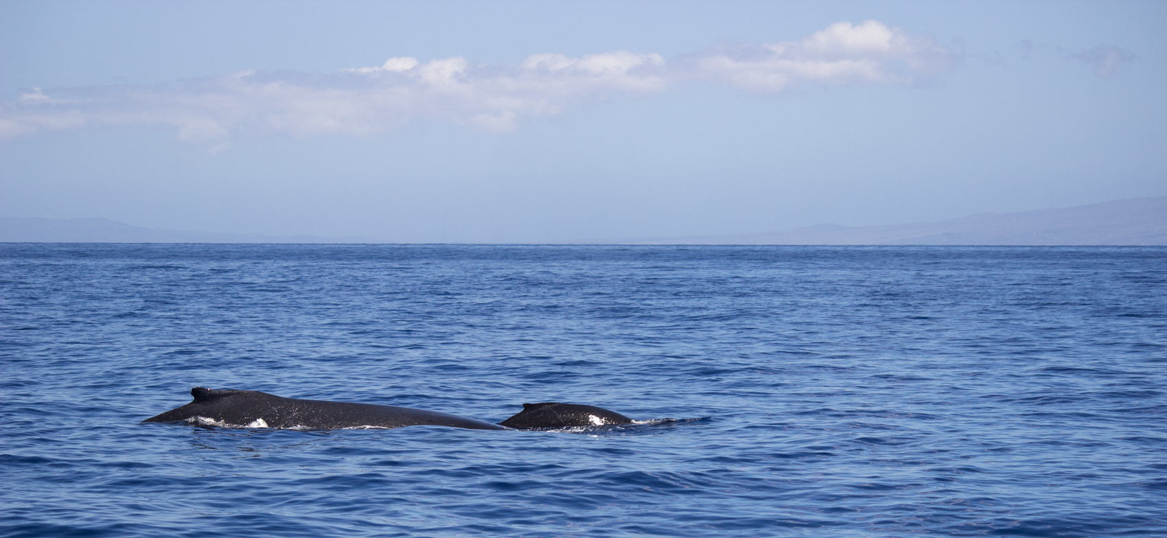 Humpback mother and calf meeting their needs in their winter waters of choice. Lanai, Hawaii.