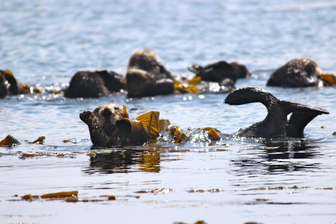 Southern sea otter in his element. Morro Bay, CA.