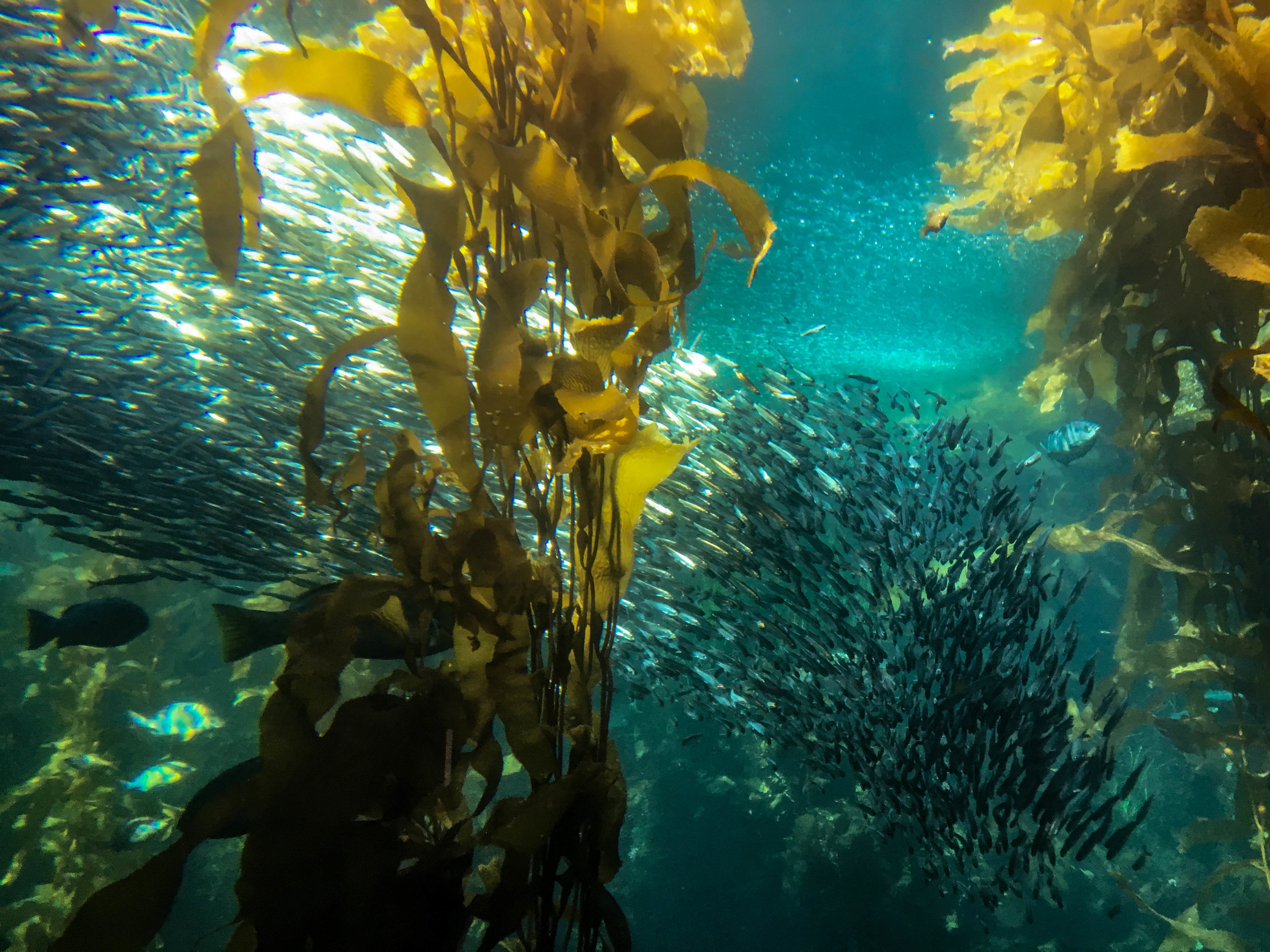 Life in the underwater forest canopy. Monterey, CA.