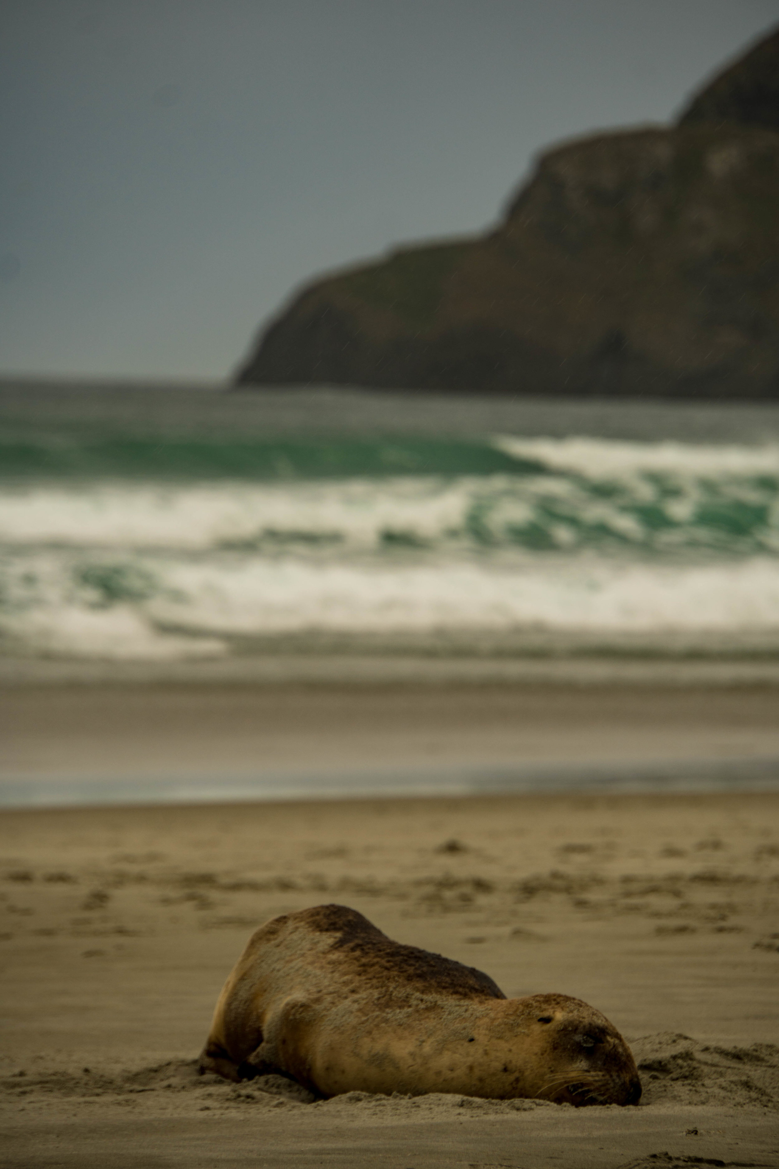 An unexpected encounter with a NZ Sea Lion,among the world's rarest pinnipeds. Otago Peninsula, New Zealand.