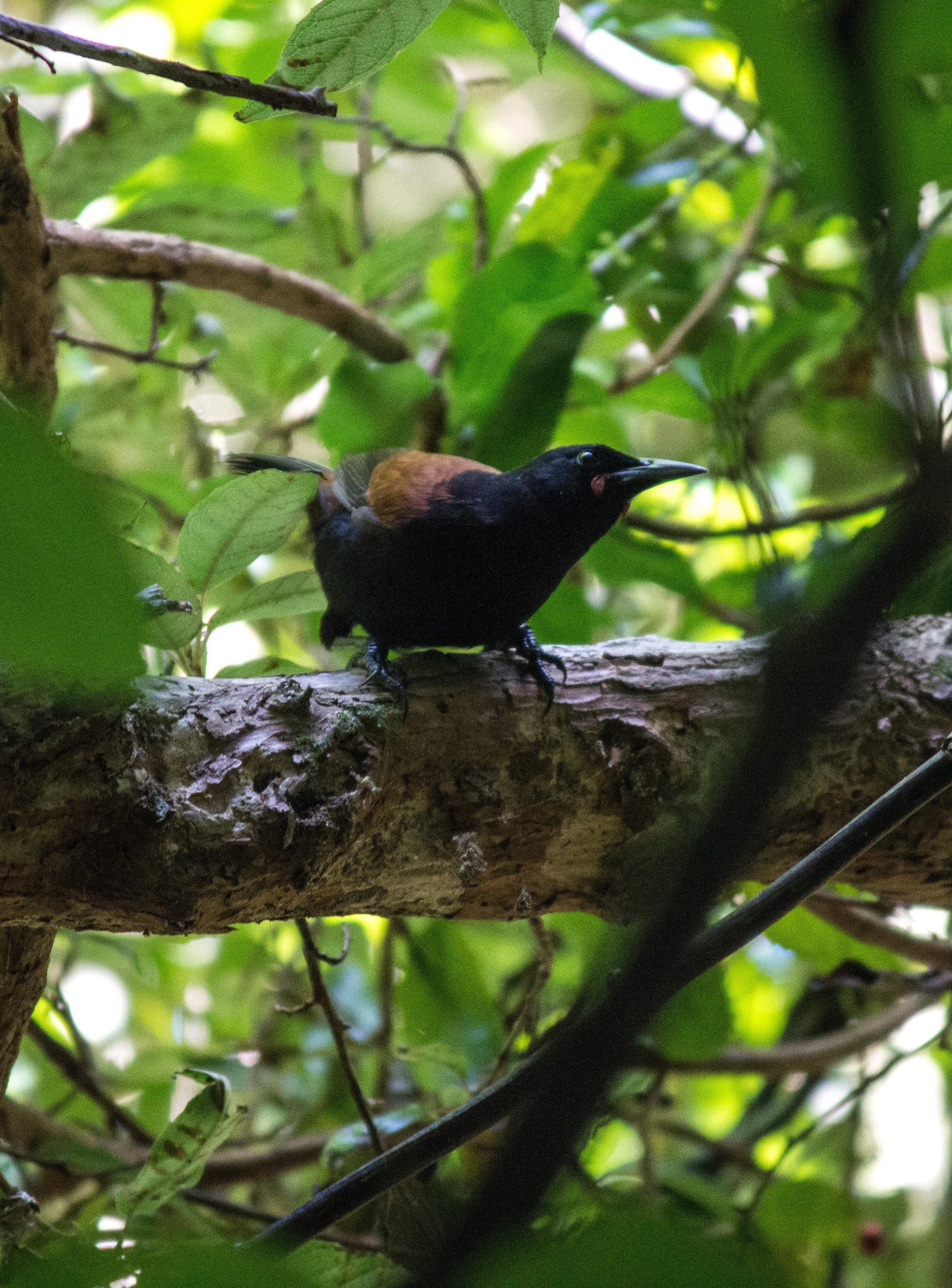 Wattlebird in Zealandia, an endemic forest bird representative of the unique biodiversity that remains. Wellington, New Zealand.