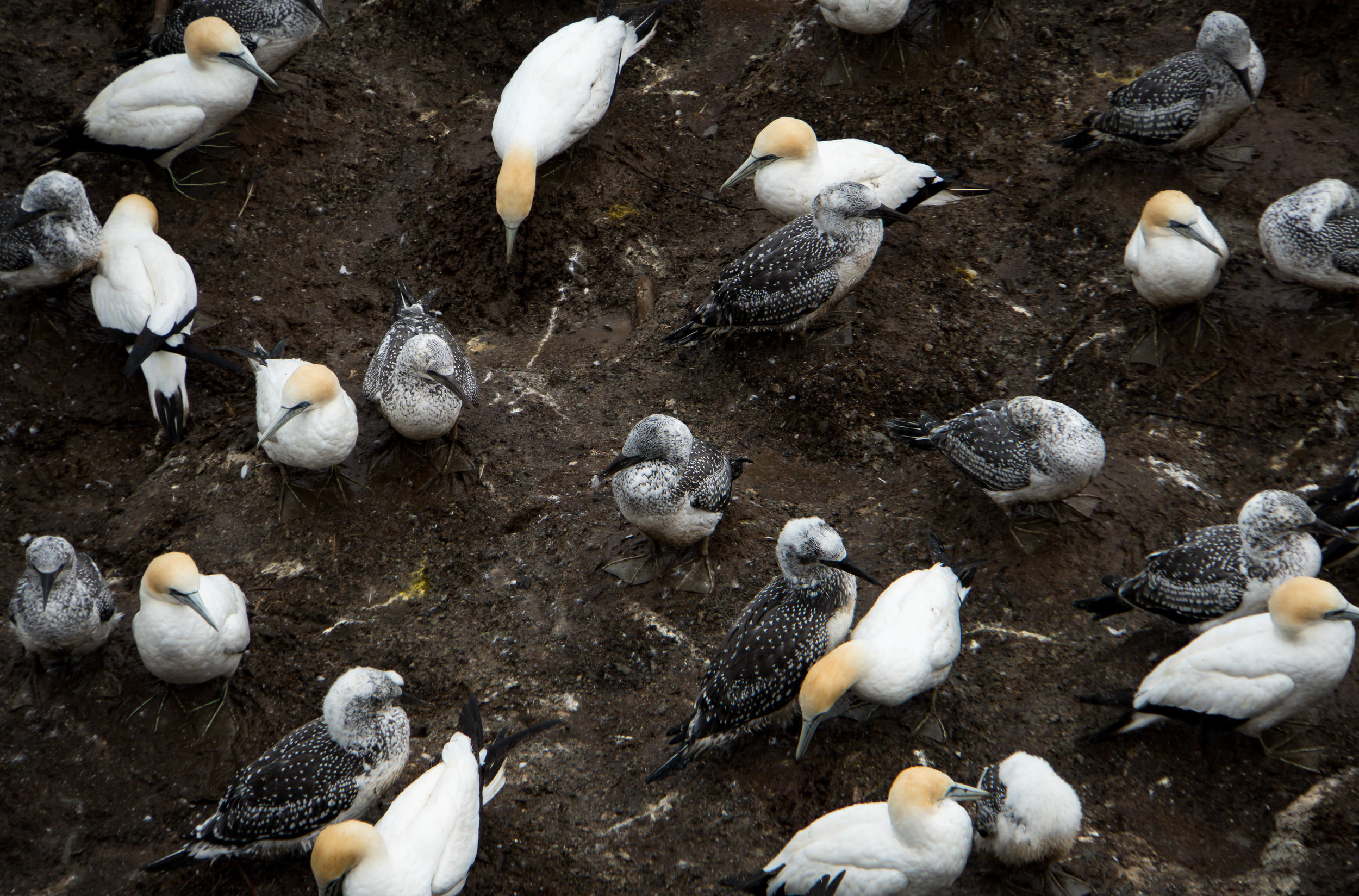 In an Australasian gannet colony, there are few gender roles. Cape Kidnappers, NZ.