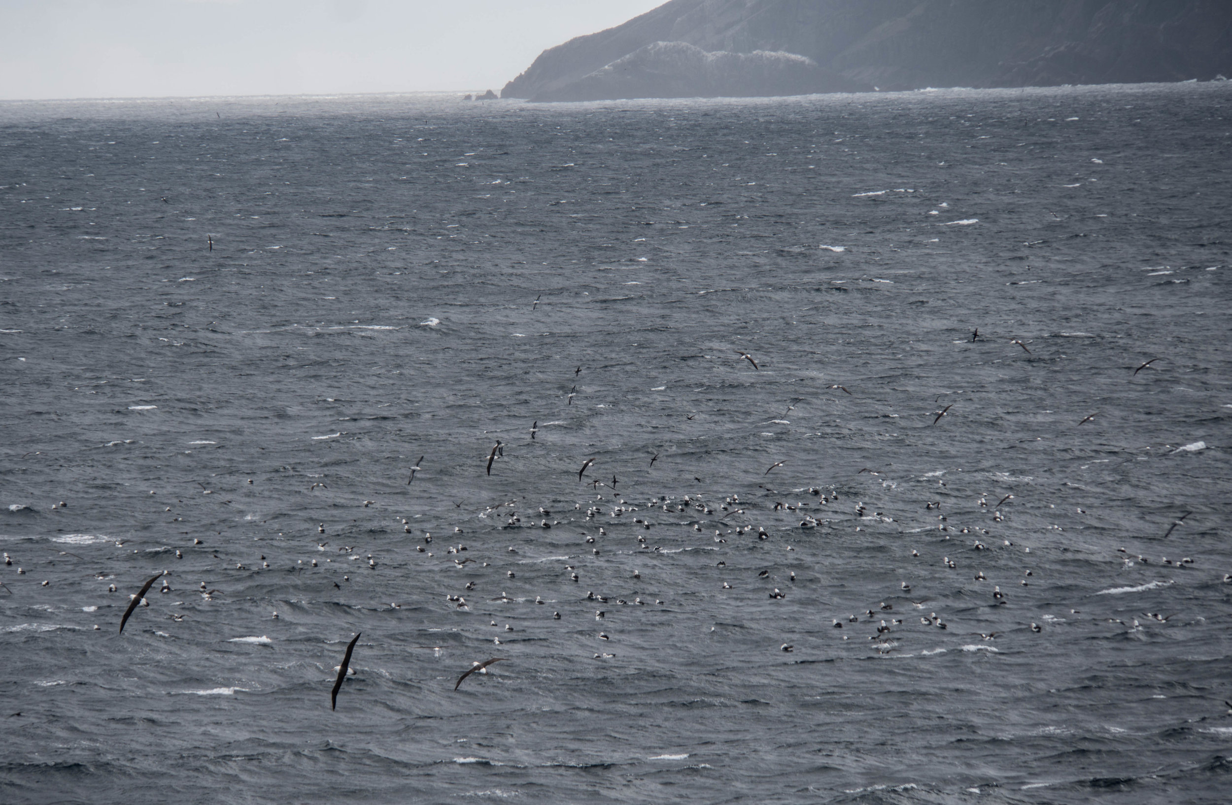 A rookery of albatrosses. Cape Horn, Chile.