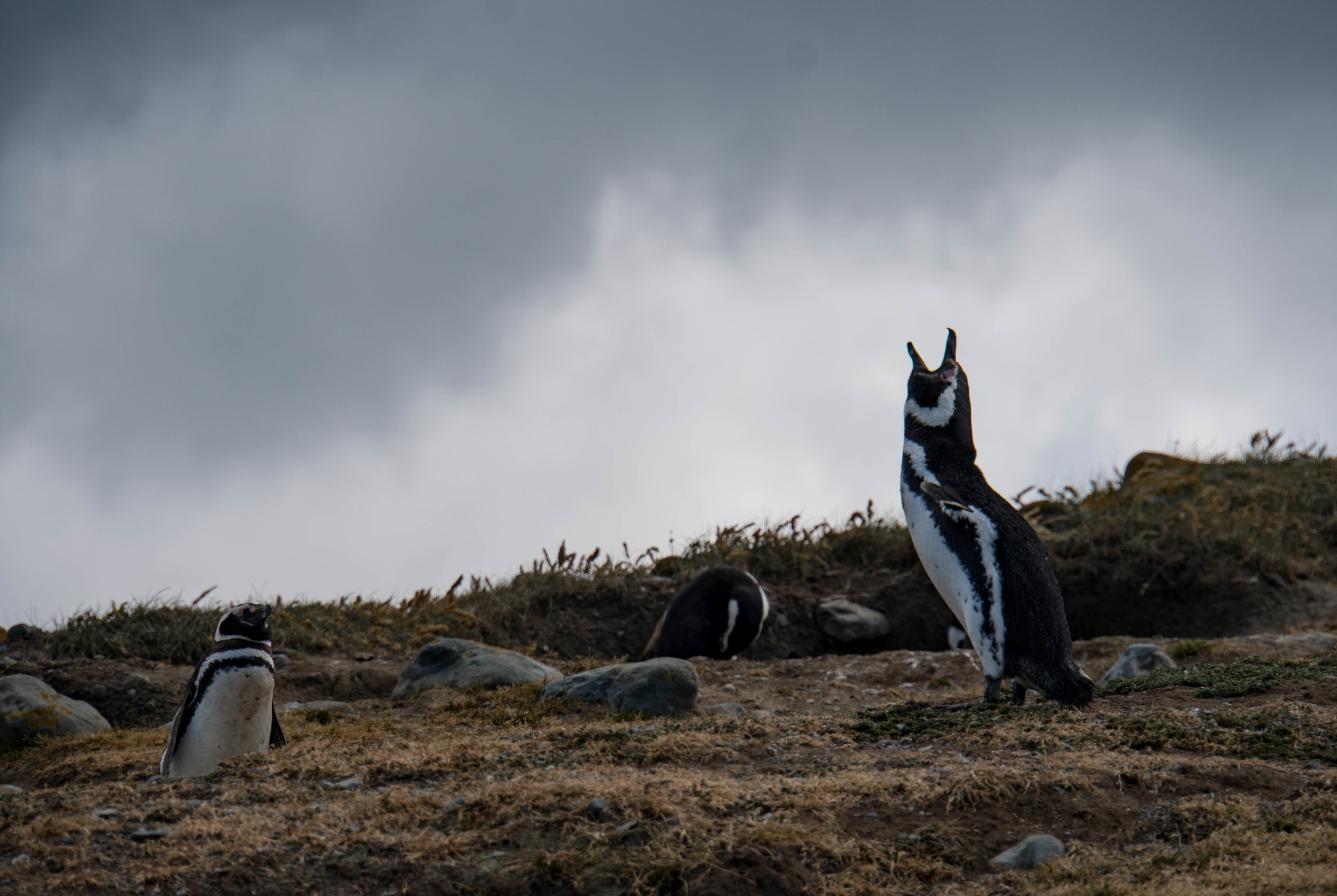 Magellanic penguin stands out among the chaos & above the background noise.  Punta Arenas, Chile.