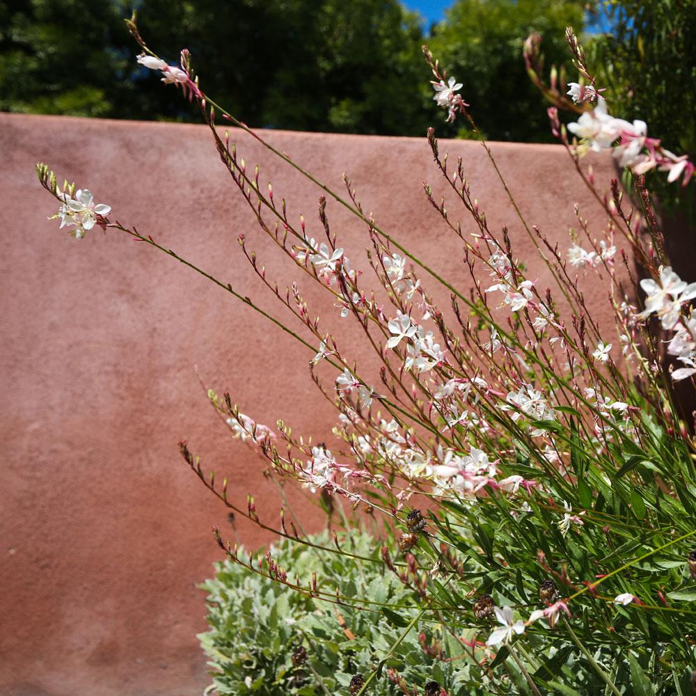 Sun loving Gaura, perfect for a Redondo Beach garden