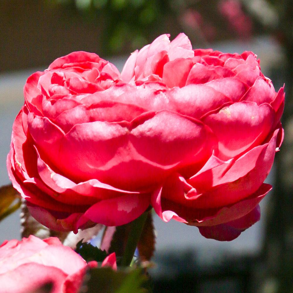 Pink Rose - Lomita Garden