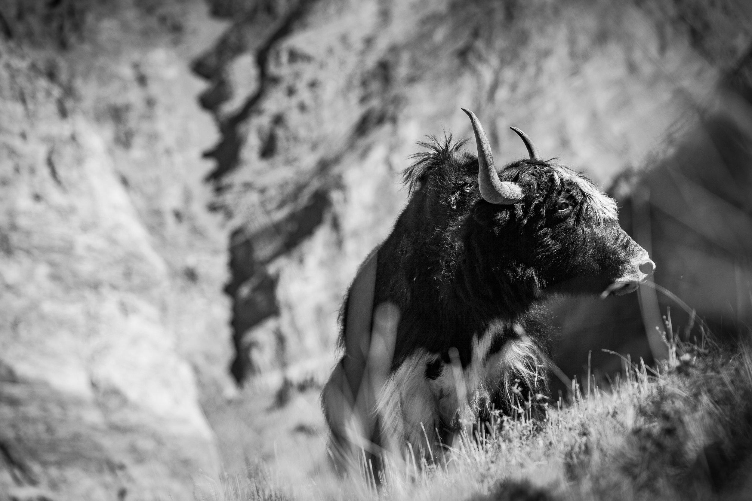 Gaudenz Danuser, Photoskar, Ladakh India, Yak