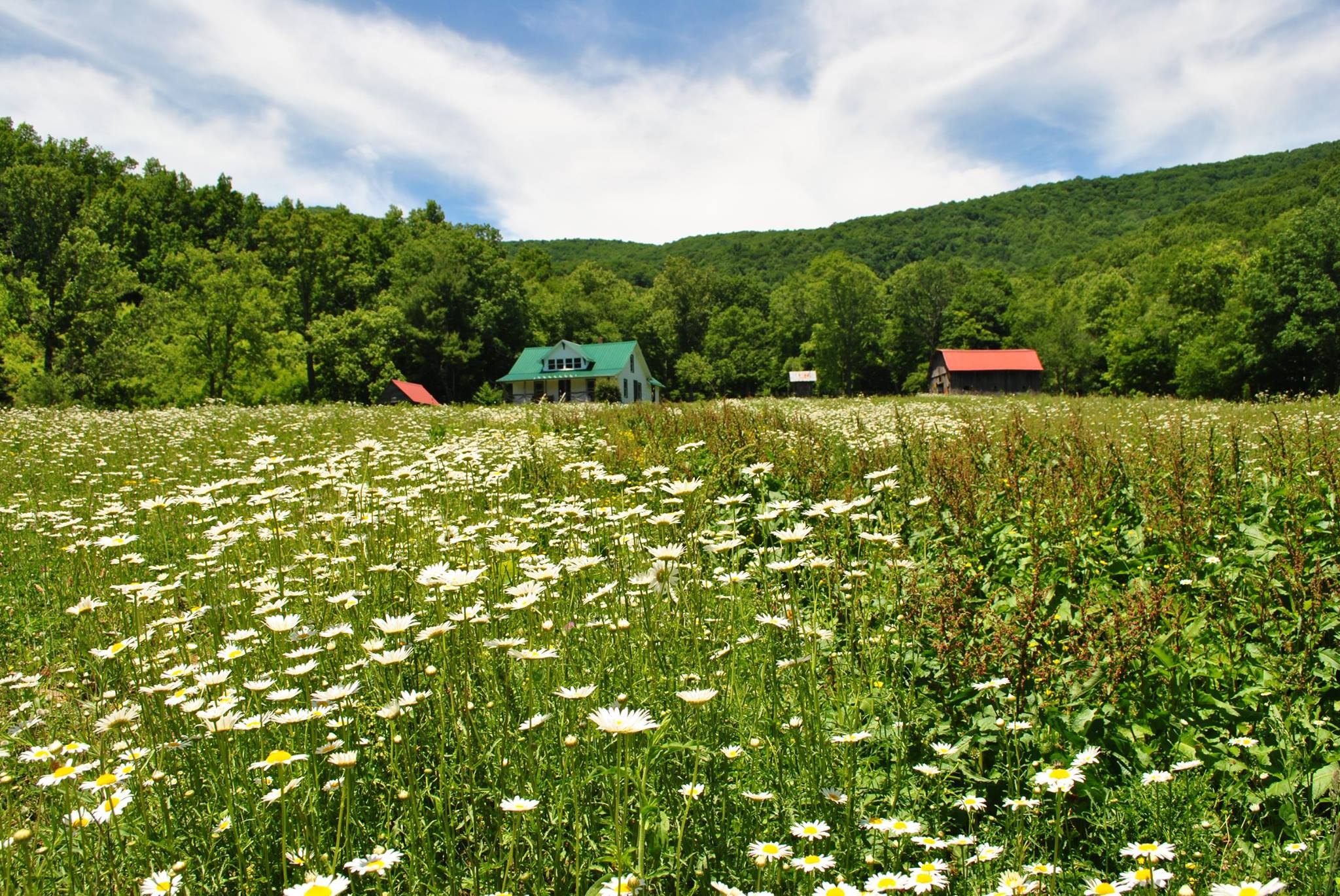 Summer daisies adorn the pasture which is the Pioneer Homestead's front yard
