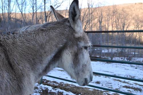 Solomon the Donkey