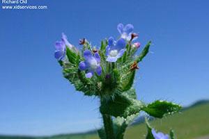Small Bugloss