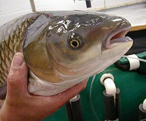 Invasive Fish >