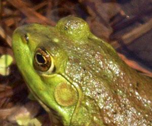Invasive Amphibians >