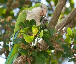 Invasive Birds >
