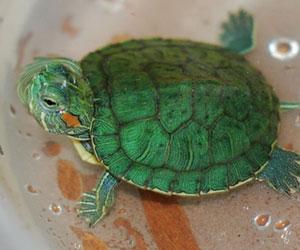 Invasive Reptiles >