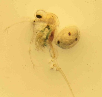 Spiny Waterflea