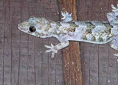 Mediterranean Gecko