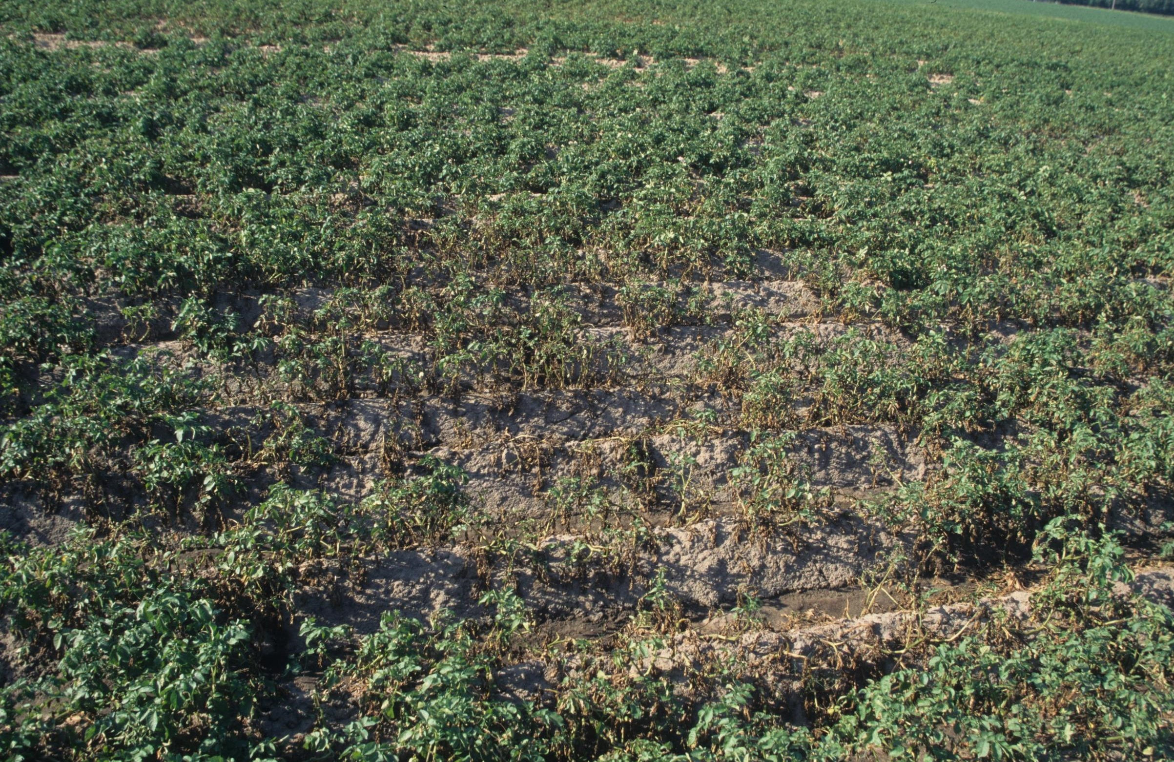 Potato late blight damage.