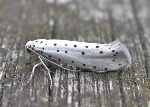 Apple Ermine Moth