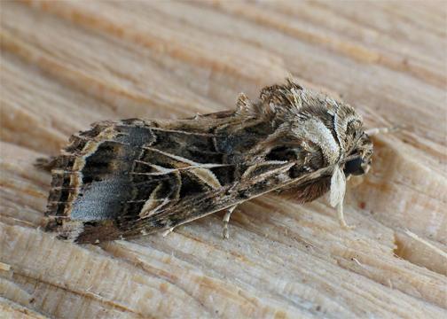 Eygptian Cotton Leafworm