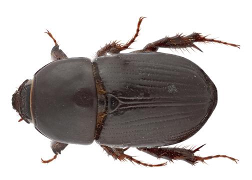 Black Maize Beetle