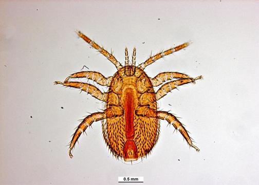 Bee Mite