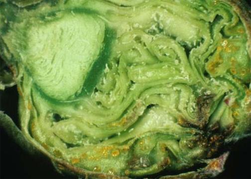 Black Currant Gall Mite