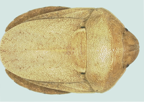 Sunni Bug