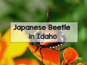 Boise Japanese Beetle Program