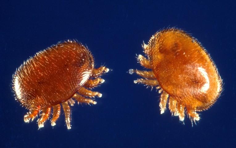 Varroa Mites