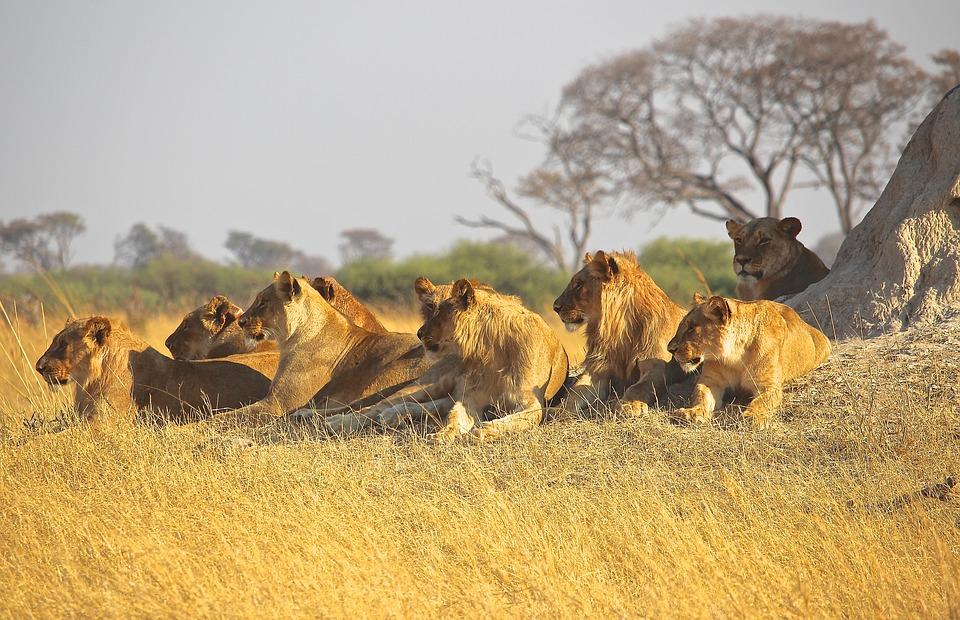 lions-1132745_960_720.jpg