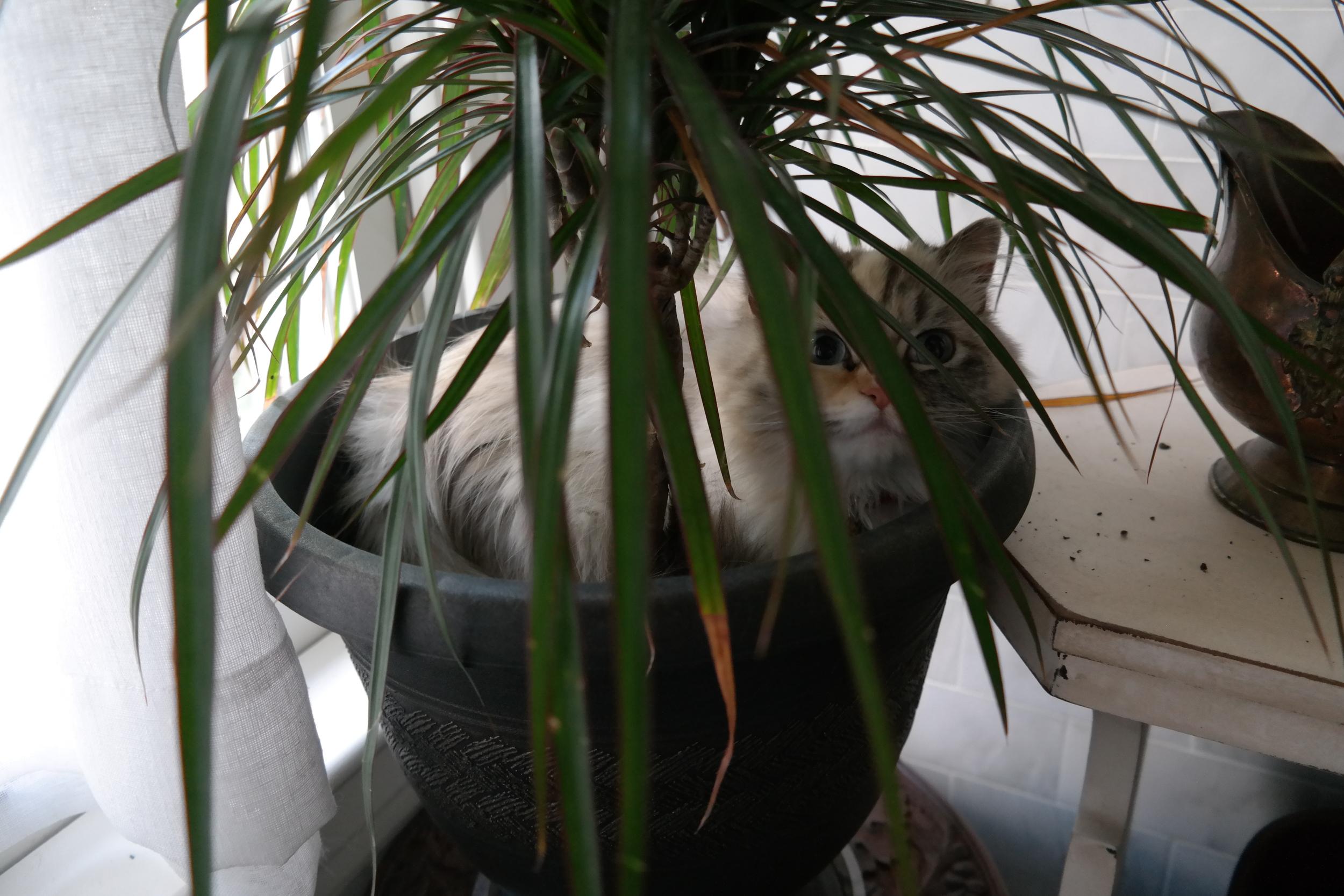 Dragon Tree with mini kitty