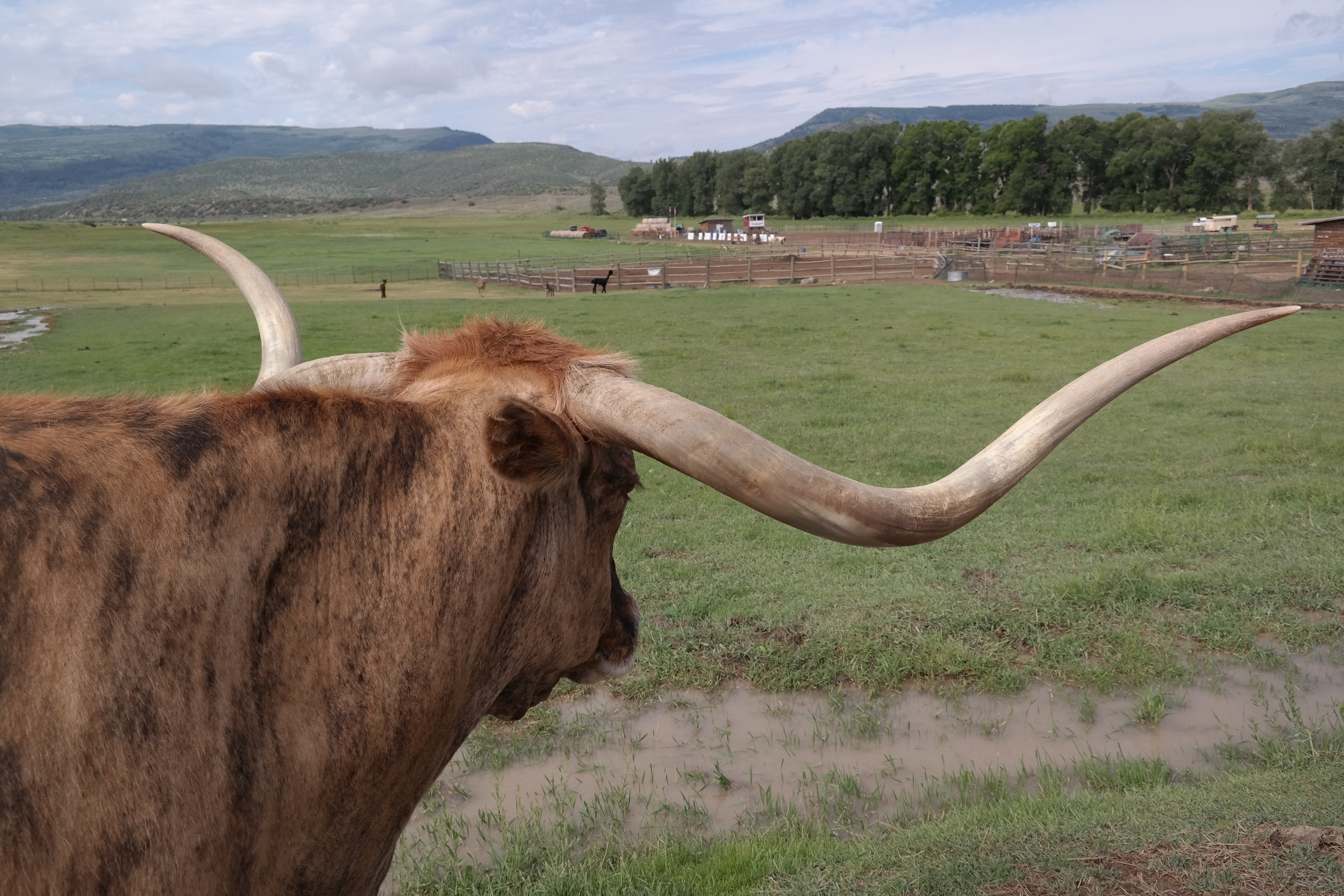 Big Blue, the rescue longhorn bull hanging with the alpacas and sheep