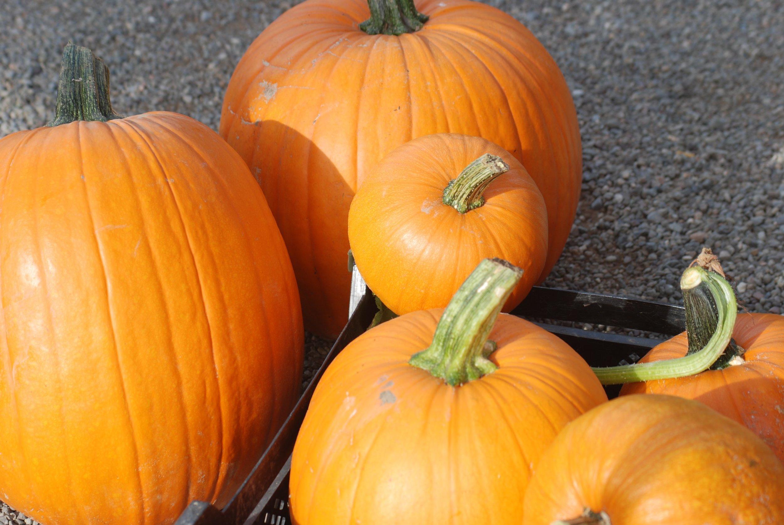 produce pumpkin group.JPG